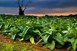 Planta de Tabaco.